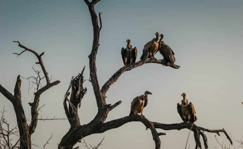 Vultures at sunset